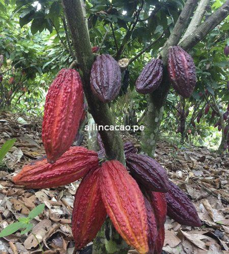 allincacao-nosotros-cacao-chocolate-peru-01